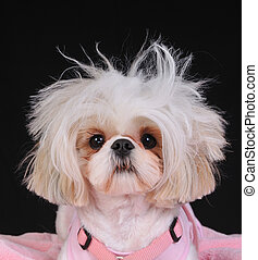 Shih Tzu Dog Bad Hair Day