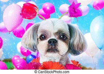Shih tzu dog birthday