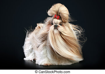 Shih tzu dog, glamour studio-shooting on dark background