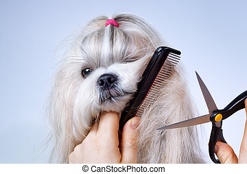 Shih tzu dog grooming with comb and scissors.