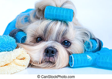 Shih tzu dog hair style with curlers and towels. On white...