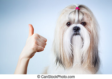 Shih tzu dog handsign. On blue and white background.