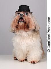 Shih Tzu dog in a black hat