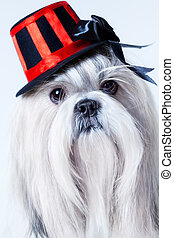 Shih tzu dog in hat portrait.