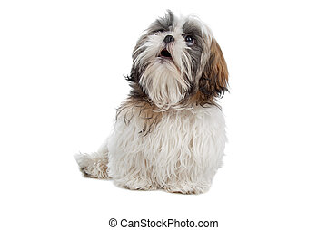Shih tzu - dog isolated on white