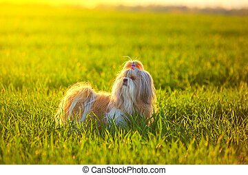 Shih tzu dog on grass at sunset light.