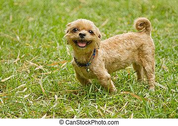 Shih tzu dog on grass.