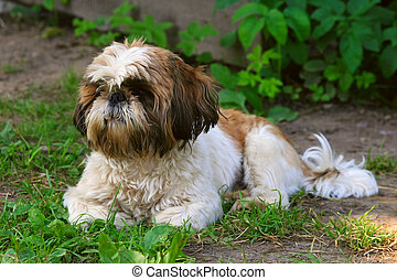 Shih Tzu dog on green grass