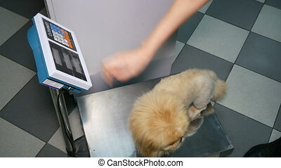 Shih Tzu dog on scales after illness