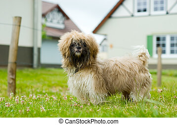 shih tzu dog - cute shih tzu dog looking at the camera