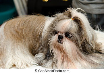 Shih Tzu Dog portrait