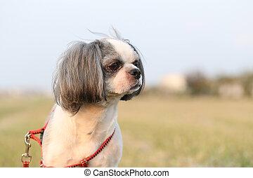 Shih Tzu dog.