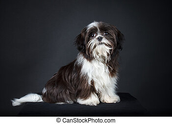 Shih tzu dog - Shih Tzu in front of a black background.