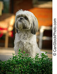 Shih Tzu Dog Sitting at Attention - A small, white Shih-Tzu...