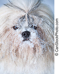 Shih tzu dog portrait with snow.