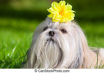 Shih tzu dog with flower.