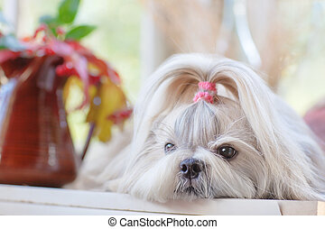 Shih tzu dog indoors portrait.