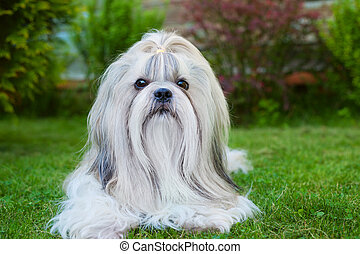 Shih tzu dog on green grass portrait.