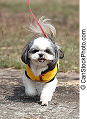 Shih Tzu Dog Walking. - Shih Tzu Dog Walking in the garden.