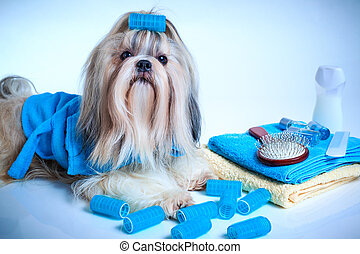 Shih tzu dog washing and grooming concept. Portrait with...