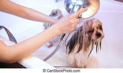 Shih Tzu dog washing.