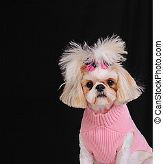 Shih Tzu Dog wearing a sweater and bows in her pigtails,...