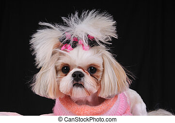 Shih Tzu Dog wearing an orange and pink sweater and bows in...