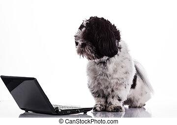 Shih tzu dog  with laptop.  - Shih tzu dog with laptop.