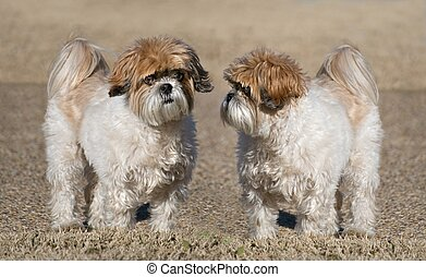 Shih-Tzu Dogs - Pair of cute Shih-Tzu with puppy-cut...