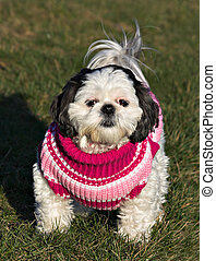 Shih Tzu in a Sweater - A white and black Shih Tzu in a...