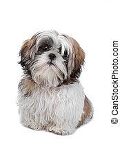 Shih tzu - dog isolated on white