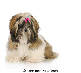 shih tzu puppy sitting with reflection on white background