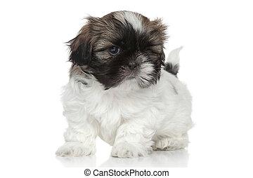Shih Tzu puppy portrait - Shih-Tzu puppy, portrait on white...
