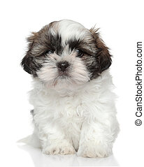 Shih Tzu puppy portrait
