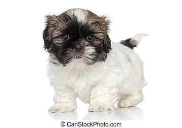 Shih-Tzu puppy portrait