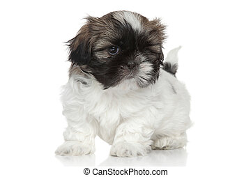 Shih Tzu puppy portrait - Shih-Tzu puppy, portrait on white...