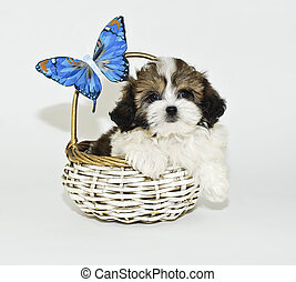 Shih-Tzu Puppy - Shih-Tzu puppy sitting in a basket with a...