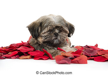 shih tzu puppy with rose petals
