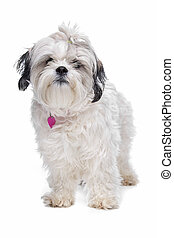 shih tzu in front of a white background