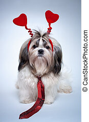 Shih tzu valentines day. Small puppy with red hearts and tie.