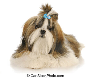shih tzu wearing blue bow in hair laying with reflection on...