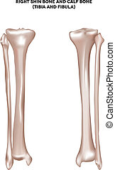 Right shin bone and calf bone (tibia and fibula). Bones of the lower extremity. Detailed medical illustration. Isolated on a white background. Bright and clean design.