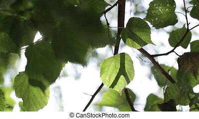 shines, feuilles, par, arbres, lumière soleil