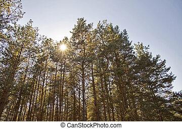 sun through the treetops