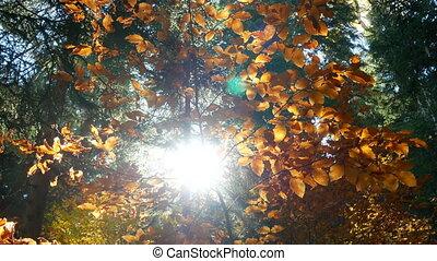 Shining yellow leaves autumn - Sun shining through yellow...
