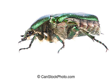 Cetonia aurata - Shiny beetle Cetonia aurata isolated on...