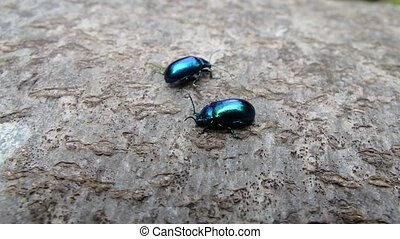 Shiny blue beetle,(Chrysolina coerulans)