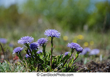 Shiny blue diasies - Shiny Globe daisies closeup from the...