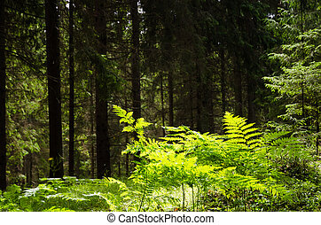 Shiny bracken in a dark green forest