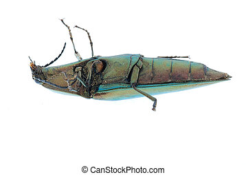 click beetle - shiny green click beetle insect...